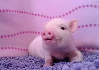 Mini Pigs Jalisco, Minipig Macho, Minipigs Legitimos