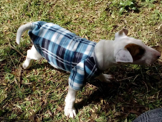 Bull Terrier Filhotes Porte Diferenciado