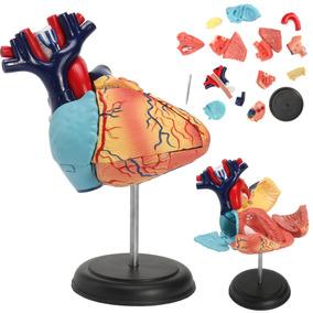 4d Modelo Coração Anatômico Humano Anatomia Médico Estudo Ór
