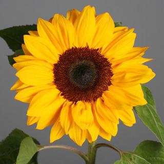 Semilla De Girasol Sumbrigth Golden Yellow