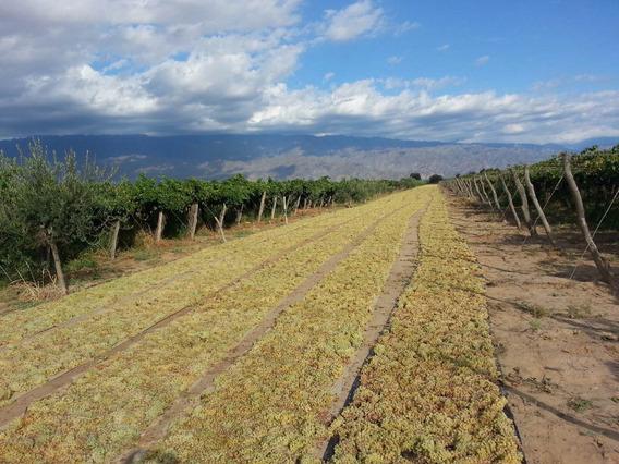 Finca De 50 Ha Con Viñedos Y Olivares En Chilecito La Rioja