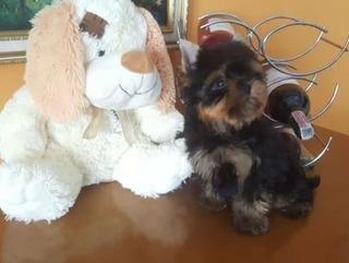 Cachorro De Yorkshire Terrier Mini