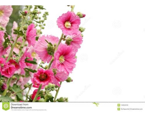 Frete Grátis Hollyhock Malva Sortida Semente Flor P/ Mudas
