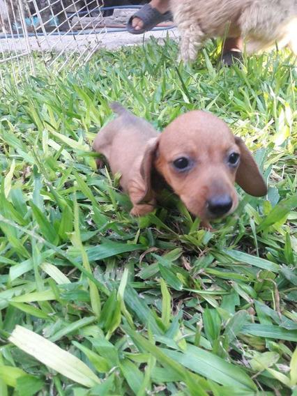 Hermosos Duchshund Salchichas Mini