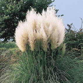 100 Sementes Capim Do Pampas Grass Cortaderia Branca P/ Muda