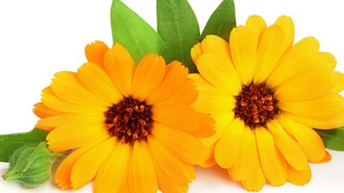 Imagem 1 de 6 de Calêndula Officinalis  40 Sementes Flor Medicinal Para Mudas