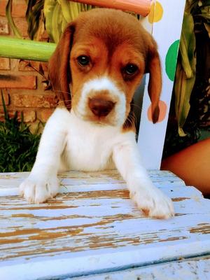 Últimos 2 Cachorros Beagle