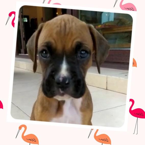 Boxer Cachorra Hembra