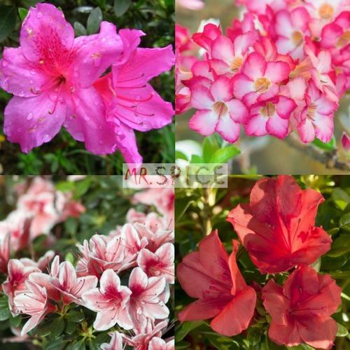 b632e273bc 500 Sementes Da Flor Mini Azaleia Sortidas E Multicoloridas - R  13 ...