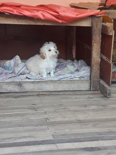 Hermoso French Poodle Vacunado Y Desparacitado