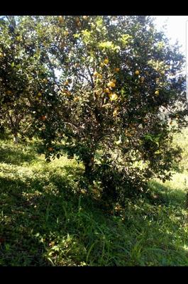 Chacra - Fundo De Naranjas Ocasión