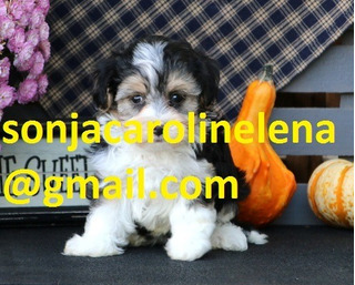 Hermosos Cachorros, Pura Raza, Cachorros De Havanese