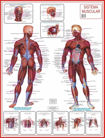 Mapa Do Corpo Humano Sistema Muscular Anatomia 120cm X 90cm