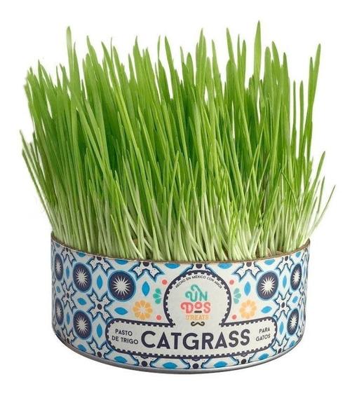 Cat Grass Pasto De Trigo Para Gatos