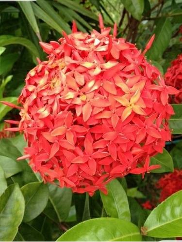 Plantas Arbustos Ixora- Flor Naranja- Canteros-bordes-cerco