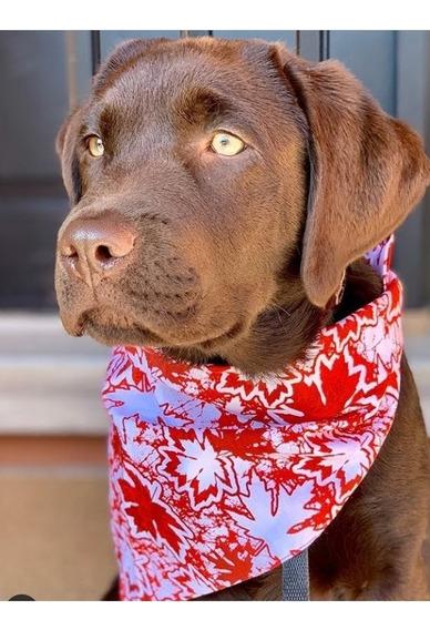 Cachorros De Labrador Retriever Chocolates Criadero Calquin