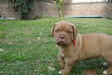 Guarderia Canina Y Criadero De Bulldog Frances En Adrogue