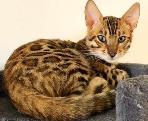 Vendo Gatos Raza Bengalí