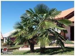 Palmeira Moinho De Vento, 200 Sementes Novas..