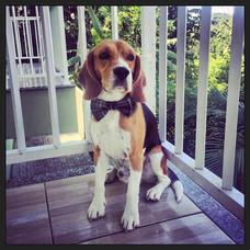 Beagle Bonitão Procura Fêmea Para Cruzar