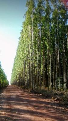 Cavaco De Eucalipto, Pinus E Outros.
