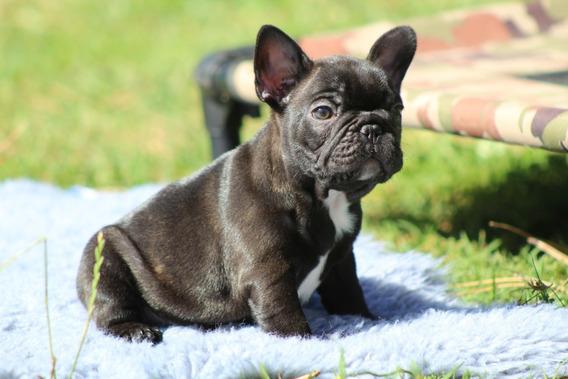 Bulldog Frances Cachorros. Hembras Y Machos. Fca!