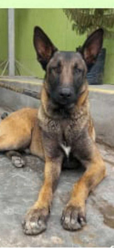 Cachorros, Pastor Belga Malinois Disponibles.