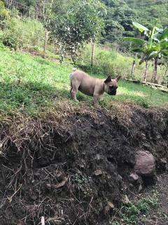 Bulldog Frances! Súper Descuento!!!