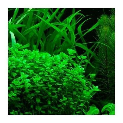 Planta Natural Para Acuario Bacopa Monnieri X 4 Tallos
