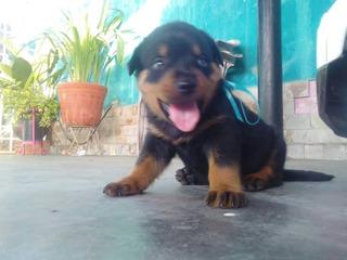 Cachorros Rottweilers . Ubicados En Puerto Ordaz