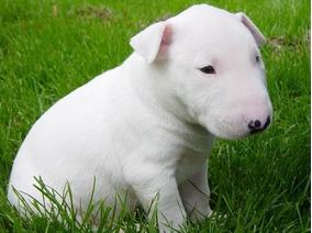 Bull Terrier Você Vai Se Derreter Com Tanta Fofura