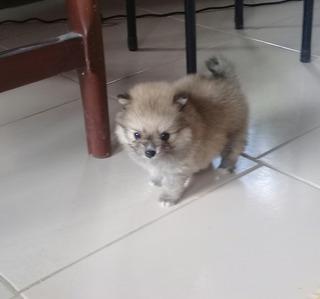 Machitos Pomeranian Toy Carita Oso Edad Mes Y Medio Vacunado