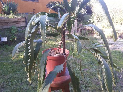 Imagen 1 de 8 de Planta  Suculenta  Colgante     Rhipsalis