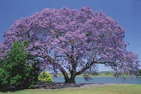 50 Sementes De Jacarandá + Sem. Uva Japonesa