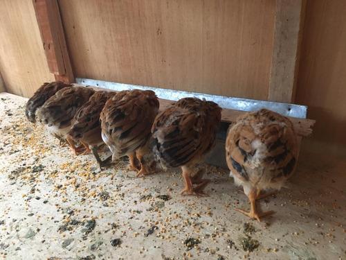 Imagen 1 de 2 de Gallinitas(os)  Nacidos De Huevos Verdes De Chacra