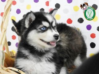 Cachorros Hermosos Siberiano En Pet Vital !!!
