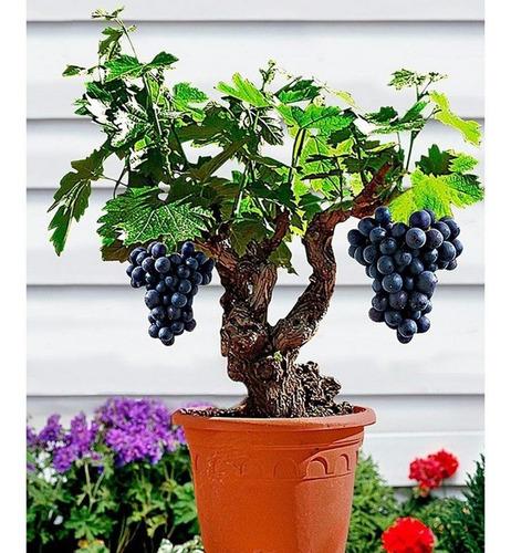 Frete Grátis Uva Anã Sortidas Semente Fruta Muda E Bonsai