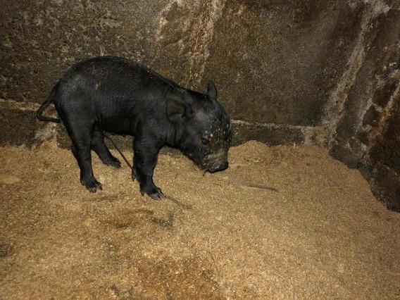 Mini Pig A La Venta