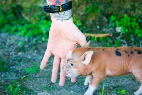 Imagem 1 de 8 de Mini Pig, Porquinhos, Pets, Animais Para Granja, Pocilga
