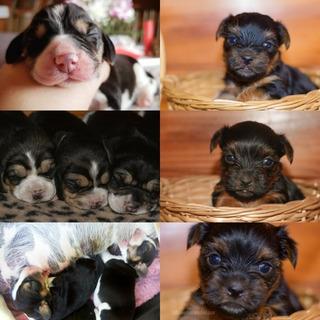Yorkshire Terrier, Beagle Enano, Teckel Kaninchen