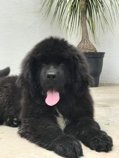 Cachorros Terranova Calidad Show