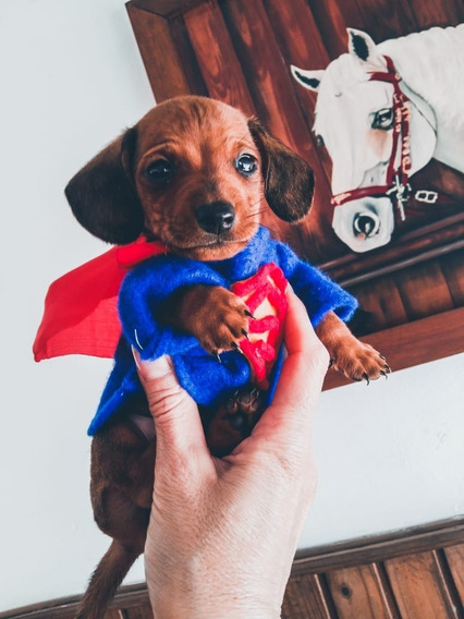 Cachorros Salchicha Mini (dachshund) Lawrence