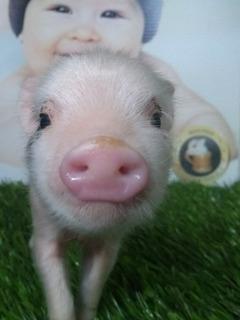 Mini Pig Minipig Mini Pigs Minipigs Cerdito