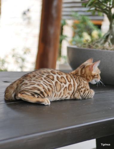 Filhotes De Gato Bengal -  Leopardinhos Dóceis Do Tigrinus