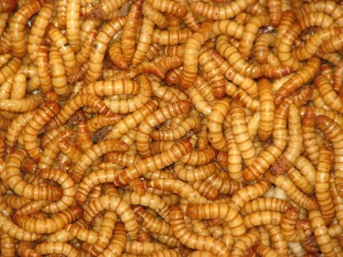 600 Tenébrios Molitor - Tenebrio - Alimento Vivo Isca Viva