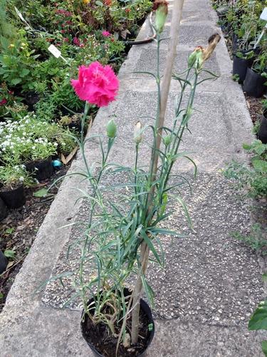 Planta De Clavel Floral