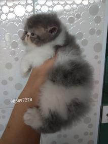Filhotes De Gatos Persa Show