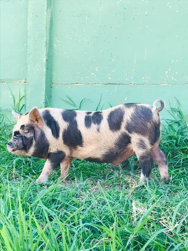 Mini Pig Brasileiro (porco Caruncho)