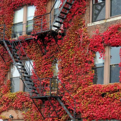 Imagem 1 de 7 de Sementes De Hera Japonesa Falsa Vinha Trepadeira Boston Ivy