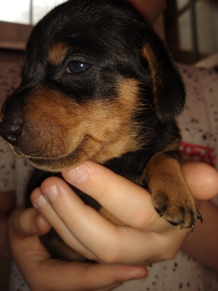 Cachorros Mini Salchicha